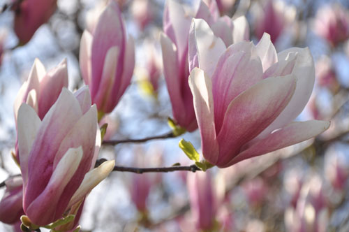 Magnolia Blossoms Along the Tidal Basin, Washington, D.C.