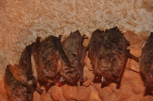 Hibernating Female Indiana Bats