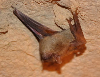Hibernating Bat in Organ Cave