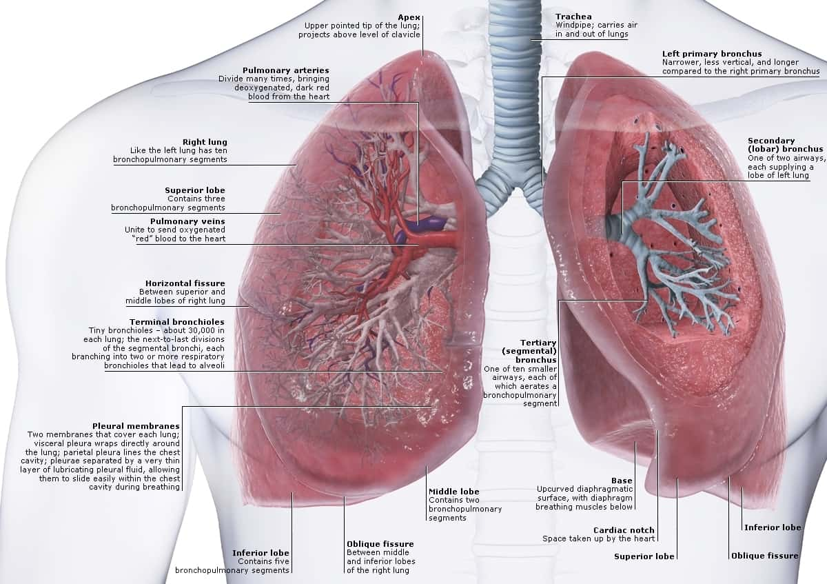 hight resolution of lung and heart human anatomy diagram