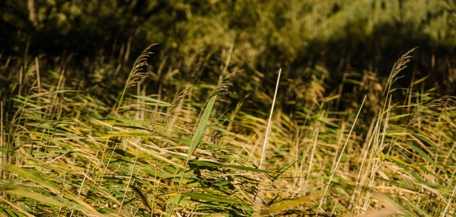 Common Reed in Autumn