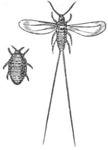 Cochineal. Wikimedia