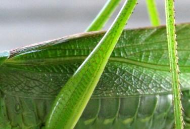 grasshopper, Norway