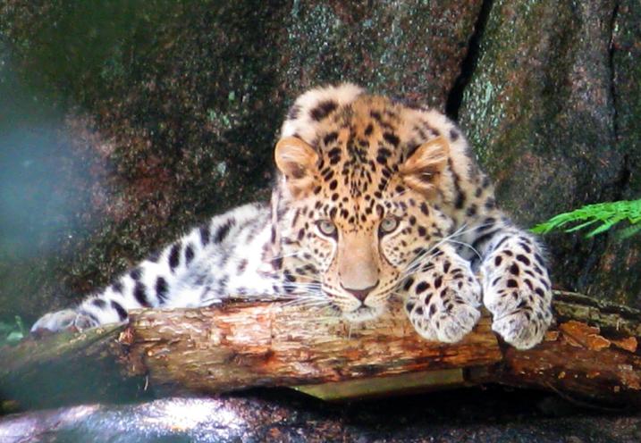 Leopard, Sweden