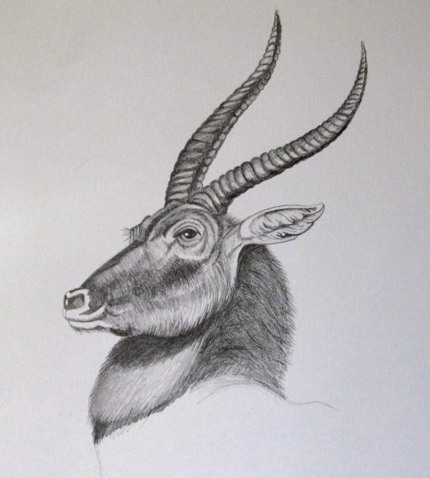 deer, pencil h2, 2b