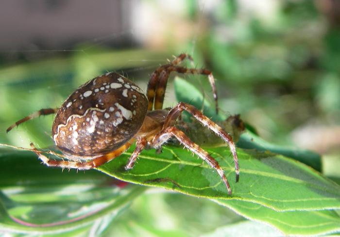 garden spider, Norway