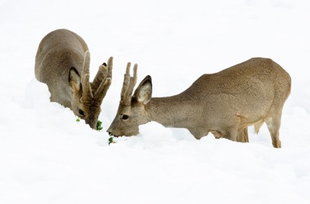 roe deer, Norway