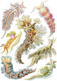 Nudibranch (Nudibranchia)