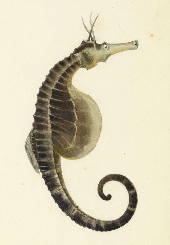 Pot-bellied sea horse