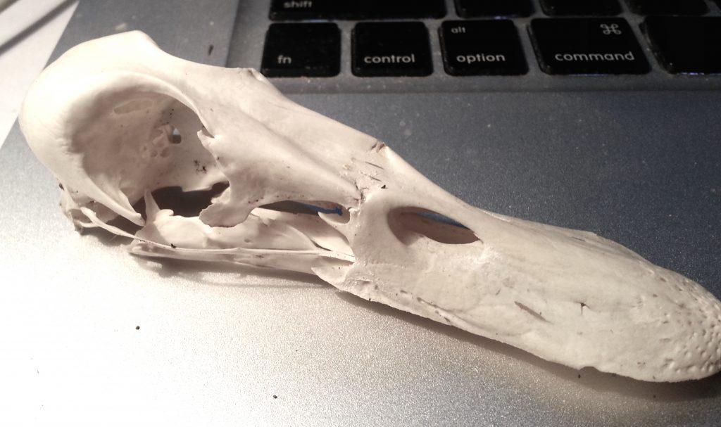 Mallard skull