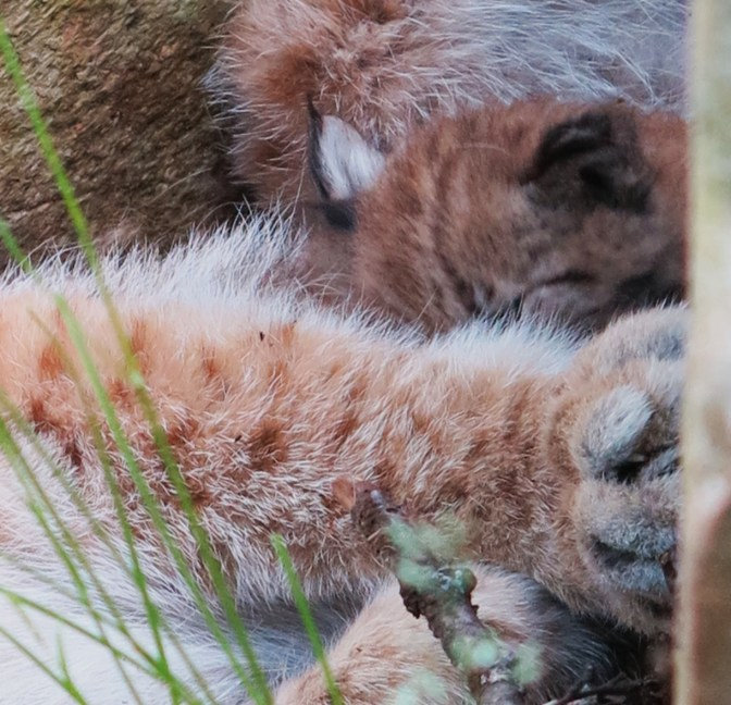 Eurasian lynx: balls of fur