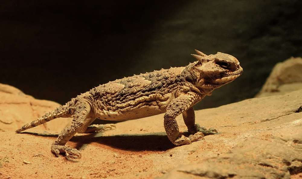 Horned lizard, photo by @benteh