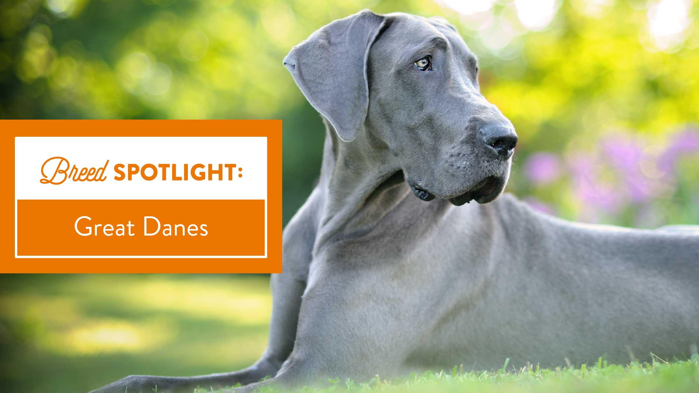 breed spotlight great dane