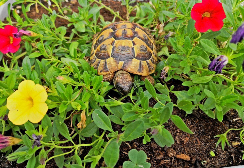 tartaruga di terra tra i fiori
