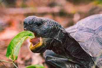 tartaruga che mangia