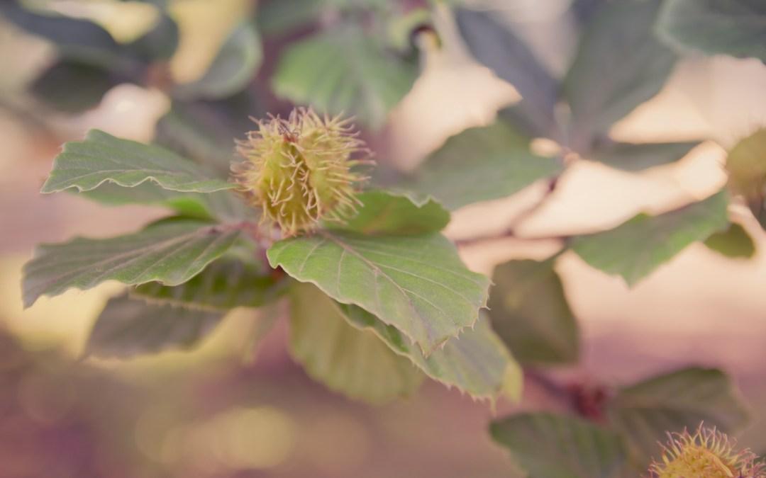 Buchecker (Nussfrucht) einer Rot-Buche (Fagus sylvatica), Baumfrüchte