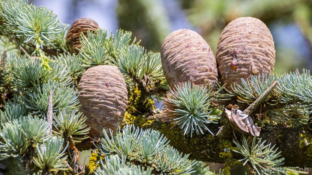 Atlas-Zeder (Cedrus atlantica), Zapfen, Baumfrüchte