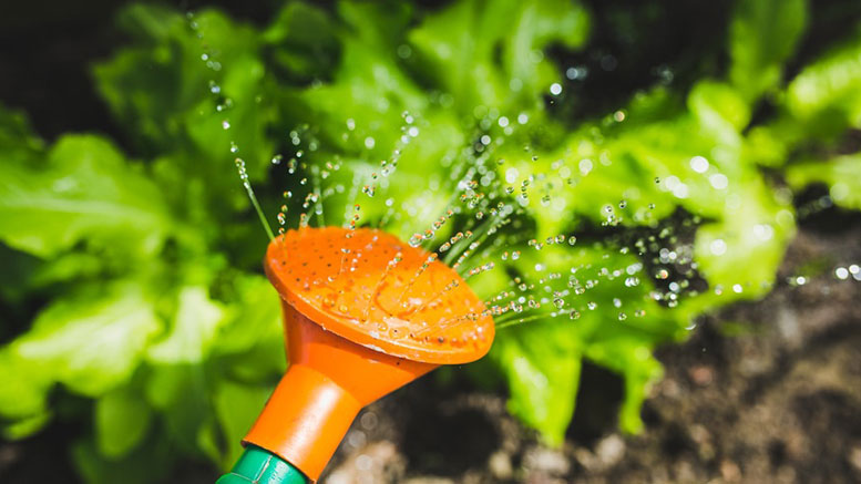 salad-water-garden-plant-large