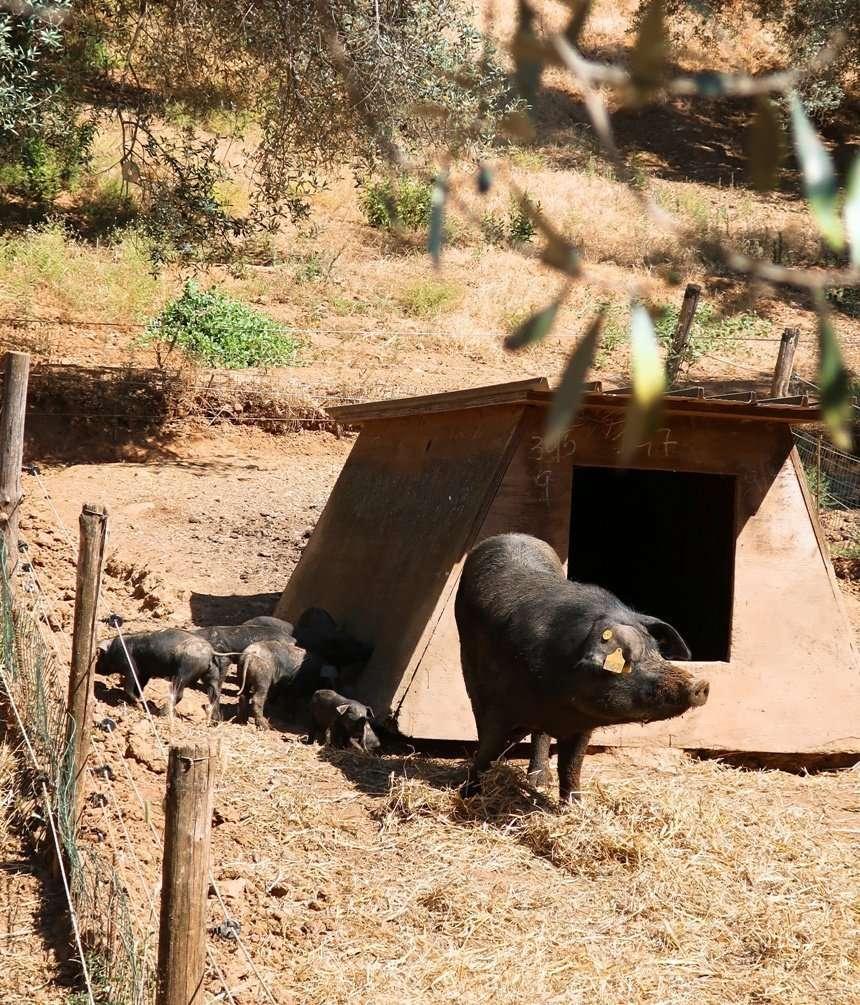 suino nero di calabria con maialini