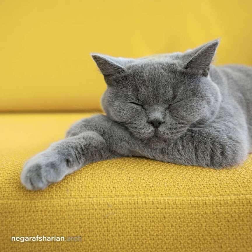 gatto grigio su divano giallo