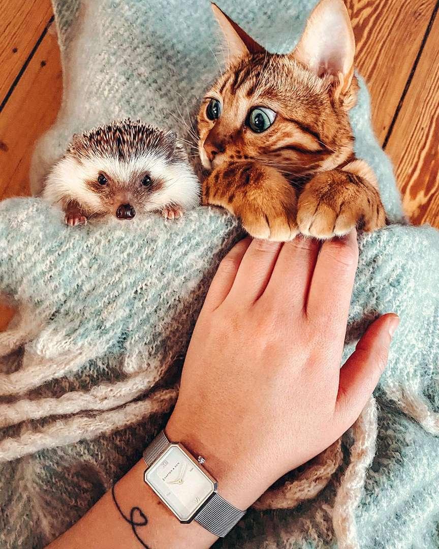 riccio con gattino