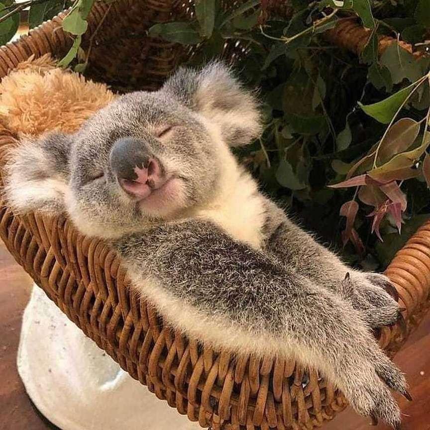 cucciolo di koala che riposa