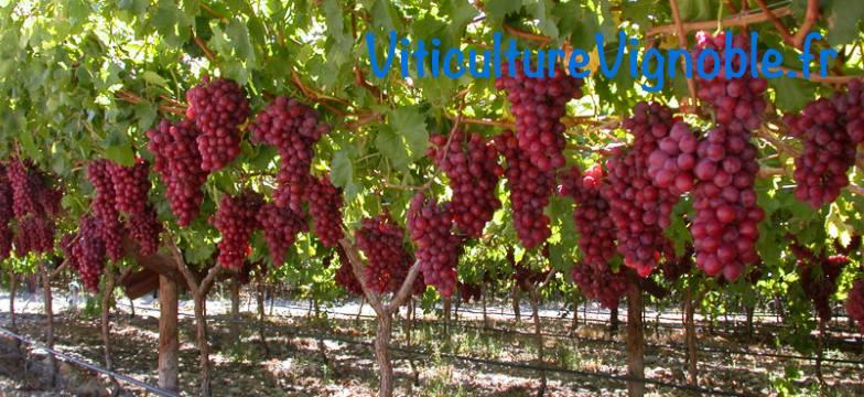 Crimson seedless  Raisin de table  ViticulturVignoblefr