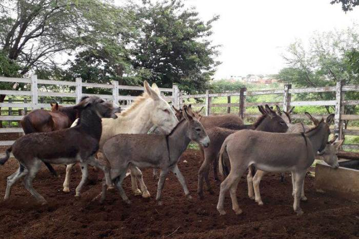 Secretaria de Agricultura de Monteiro intensifica apreensão de animais nas ruas
