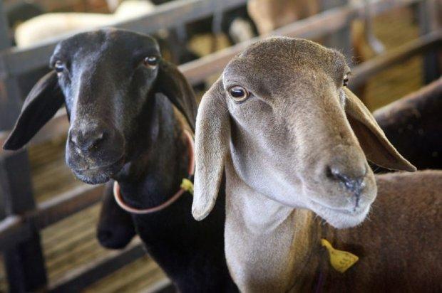 Paraíba é o maior produtor de leite de cabra do país