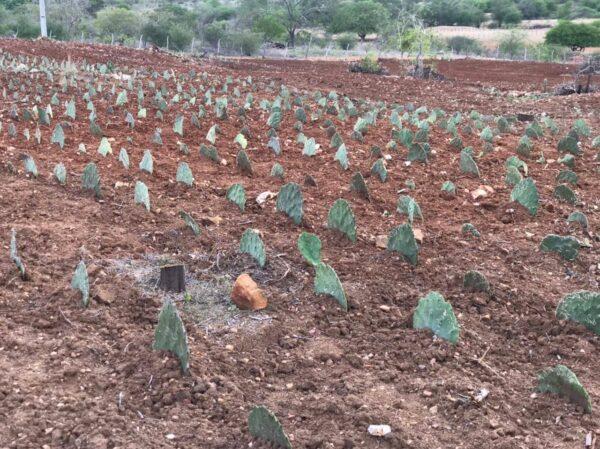 Prefeitura de Santo André determina aquisição de 300 mil raquetes de palma para distribuir junto aos agricultores