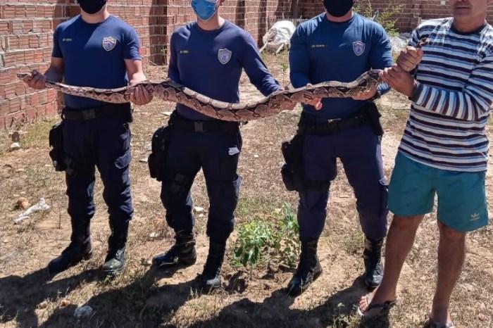 Cobra gigante é capturada em cidade do Cariri