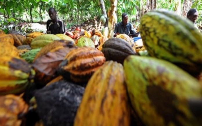 culture du cacao la c te d ivoire vole au secours du congo vivafrik actualit. Black Bedroom Furniture Sets. Home Design Ideas