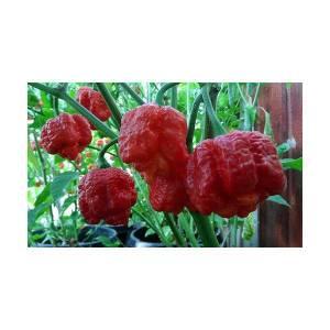 semi-di-peperoncino-trinidad-scorpion-moruga-red-Img_Principale_25304