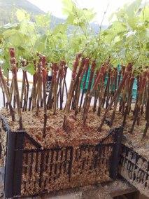 vivai-viticolo-trentini-5