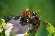 Grapes for Wine, Burgenland, 2006
