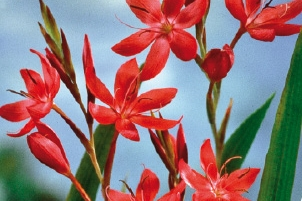Lis des Cafres rouge  Vivaplante