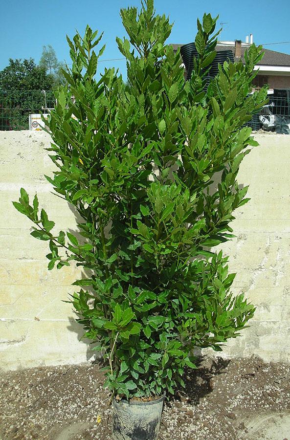 Vivarium Piante  Laurus nobilis