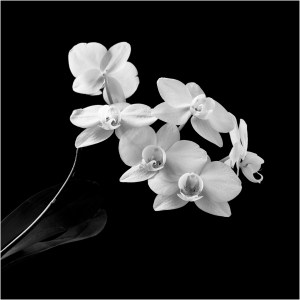 Orchid in style of Robert Mapplethorpe