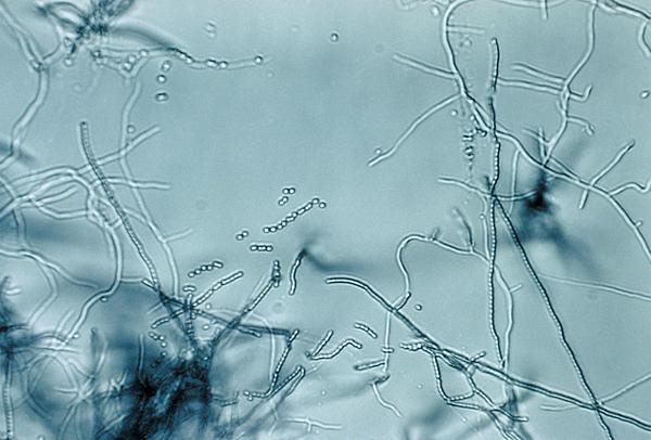 Streptomycès