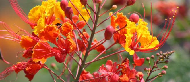 Pride Of Barbados Plant For Lots Of Color Vivero