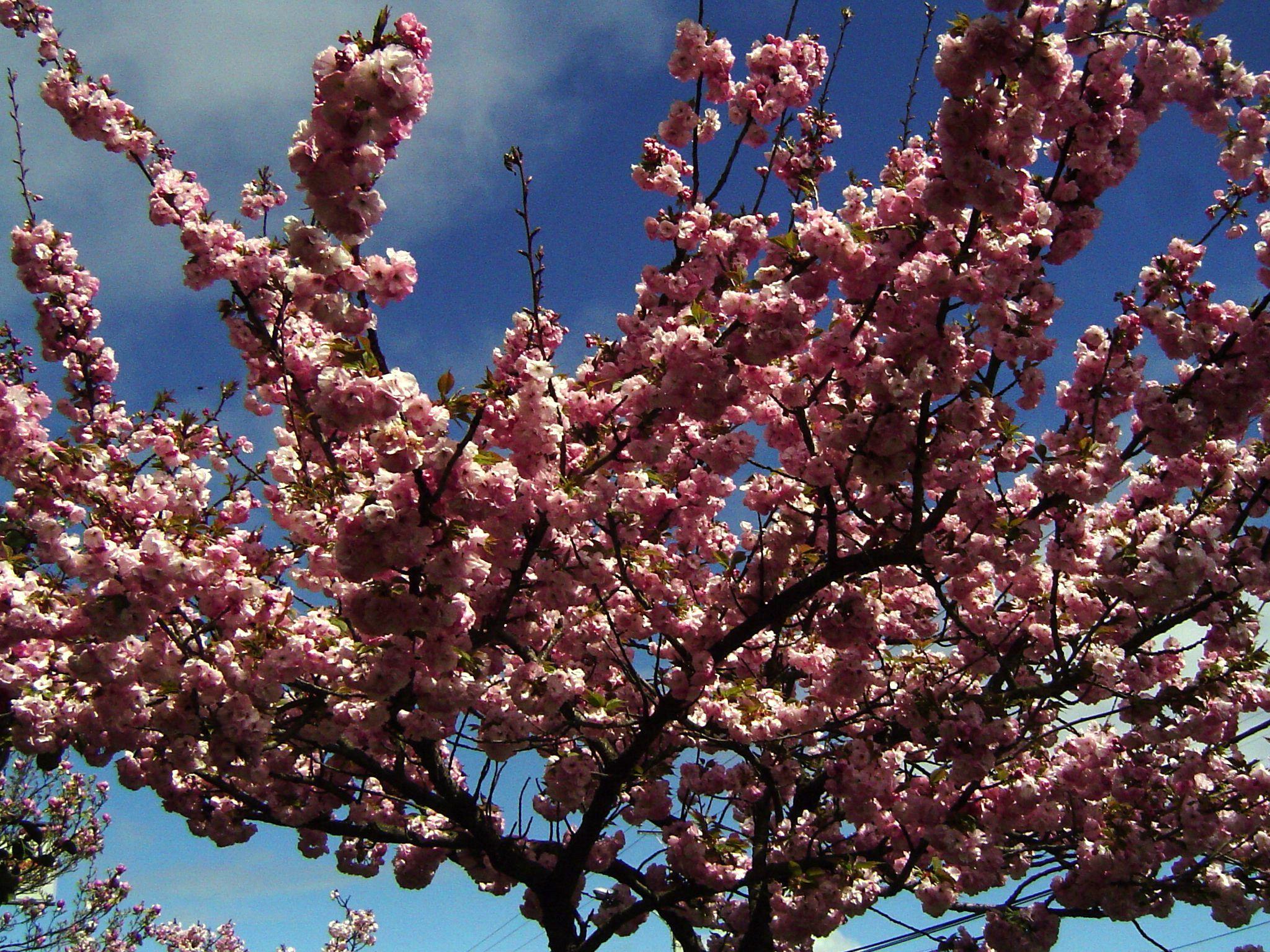 Arbol De Cerezo Japones cerezo de flor o cerezo de japon