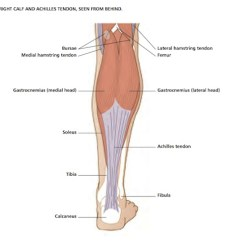 Medial Lower Leg Muscles Diagram Jeep Trailer Wiring Harness Vivian Grisogono About The Calf By Peter Gardiner