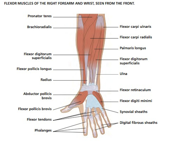 Hand Diagram Ligaments Vivian Grisogono About The Wrist And Hand