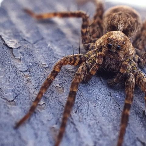 Por-qué-nos-dan-miedo-las-arañas-Estudio-lo-explica 29/06/20