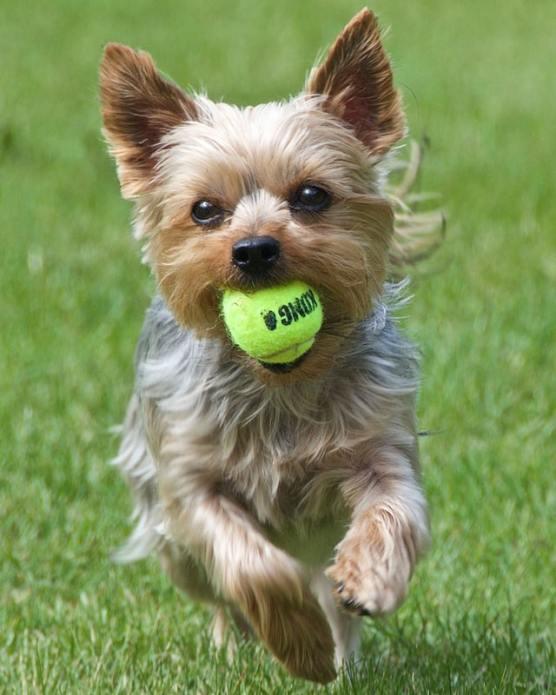 enfermedades-perros-yorky-10-de-julio-2020