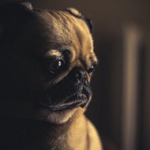 por-que-perro-triste-pug-21-de-julio-2020