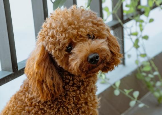 enfermedades-perros-poodle-10-de-julio-2020