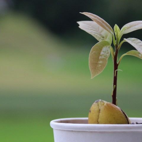 Cómo germinar el hueso de aguacate para que crezca una hermosa planta