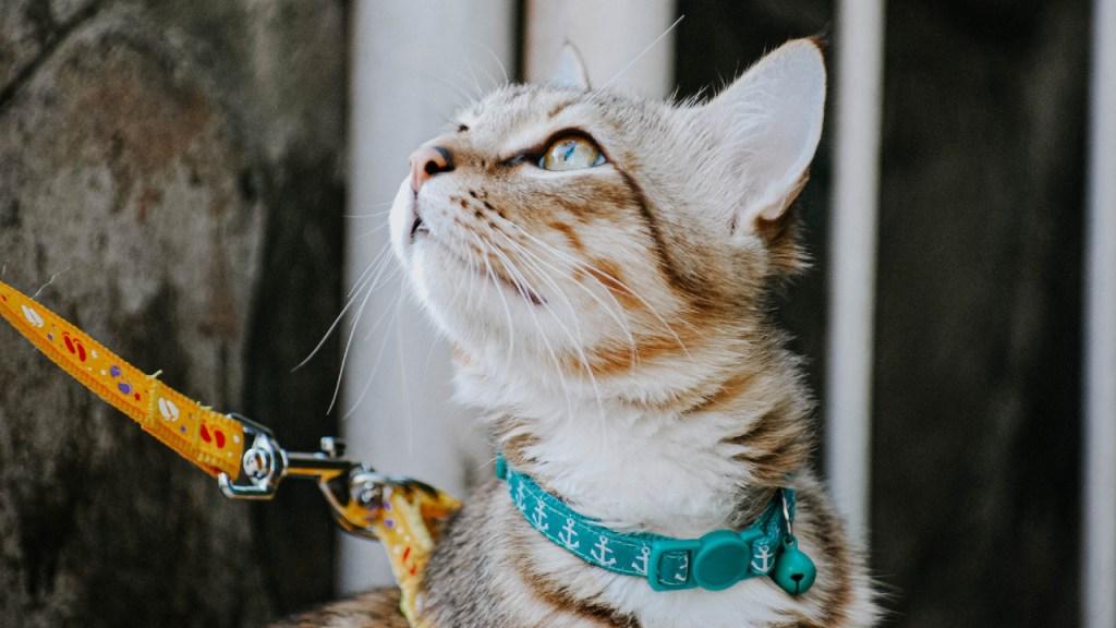 correa arnés gato