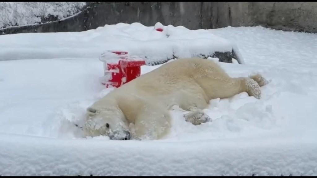 oso polar disfruta la nevada en texas video viral